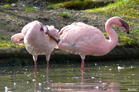 Flamants roses - zoo d\'Amnéville 2008