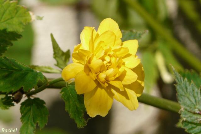 Fleurs de printemps dans mon jardin for Fleurs jaunes jardin vivace