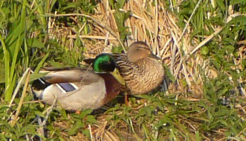 canards en couple