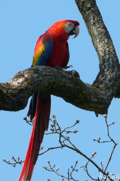 perroquet zoomé sur la branche
