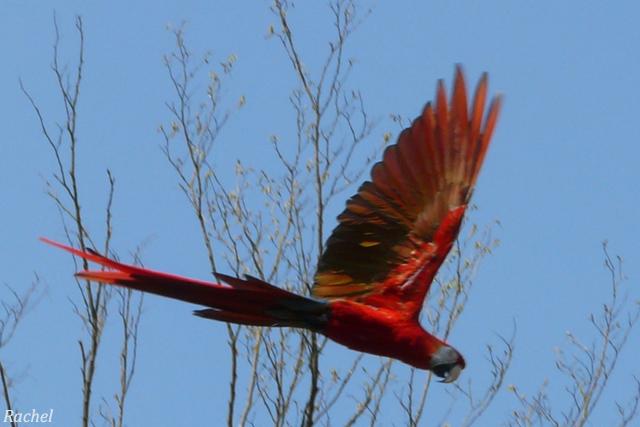 perroquet en vol zoomé