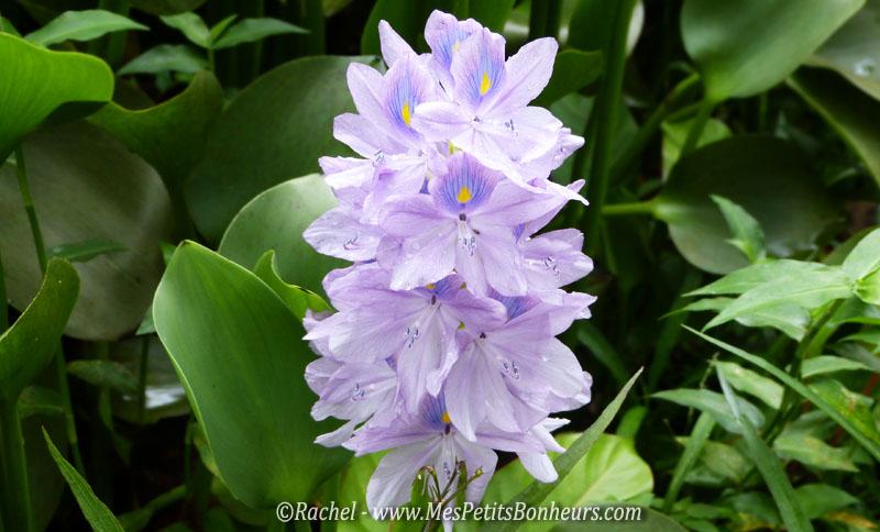 fleur violette_Valombreuse_Guadeloupe