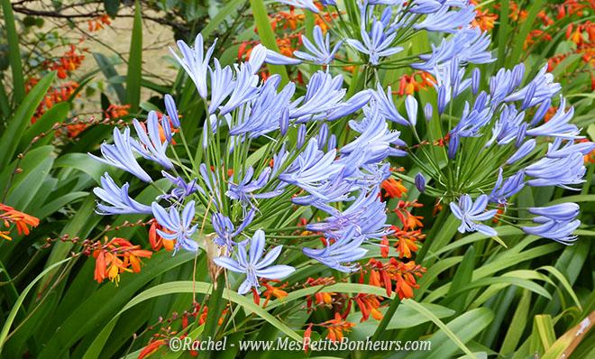agapanthes et fleurs oranges