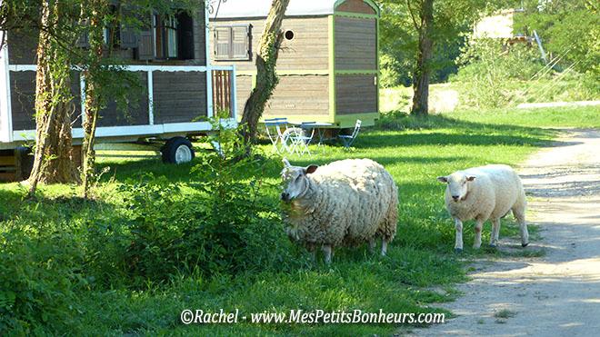moutons du village