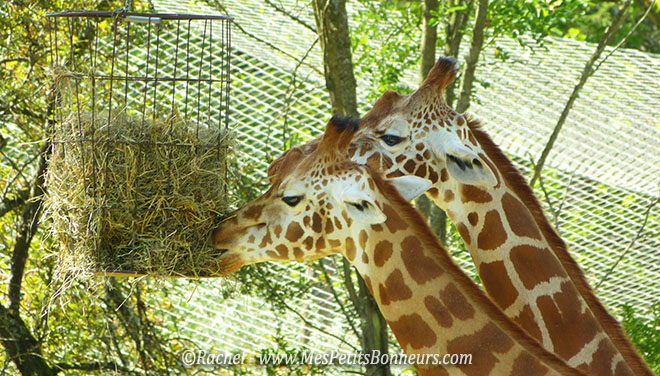 girafes du Pal