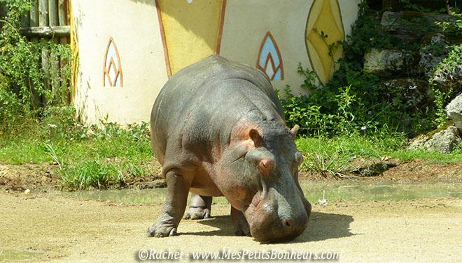 hippopotame au Pal
