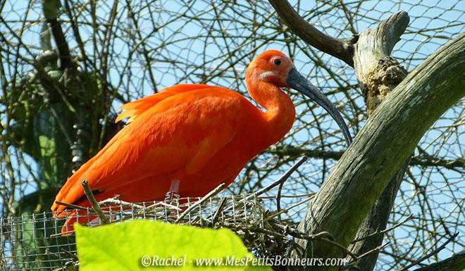 ibis rouge volière du Pal