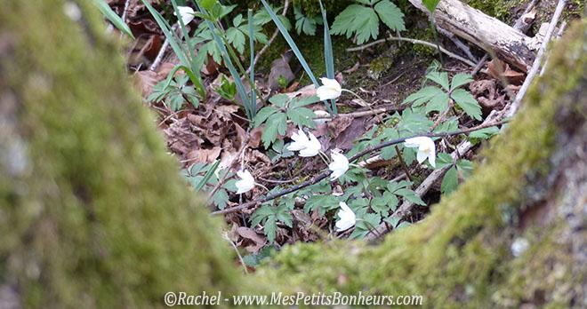 petites fleurs blanches dans les bois