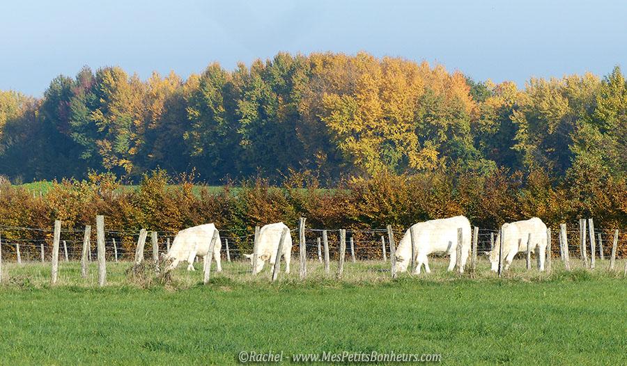 vaches sur fond de couleurs d'automne
