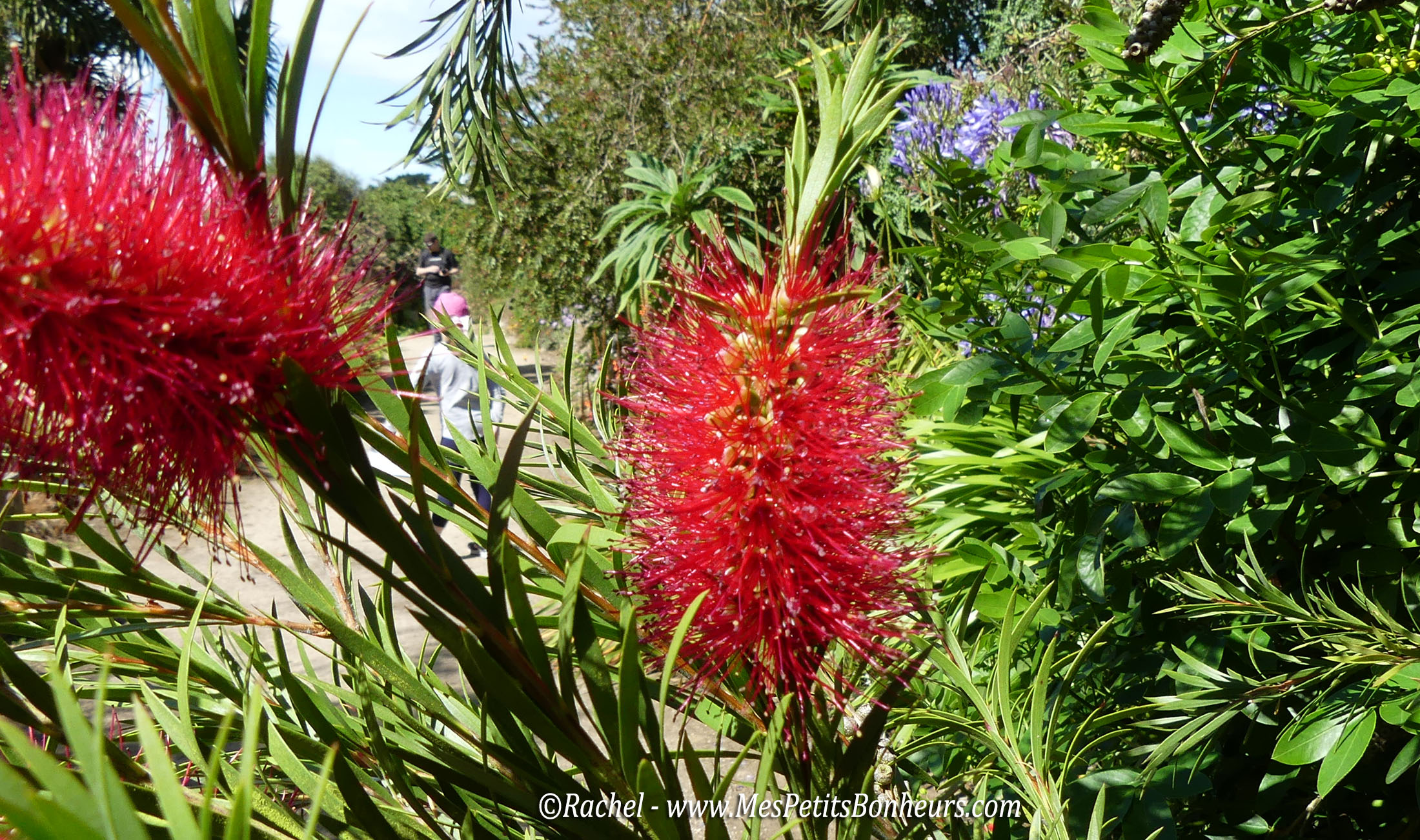 Roscoff plante exotique rince bouteilles