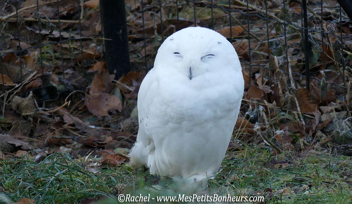 harfang-des-neiges-femelle