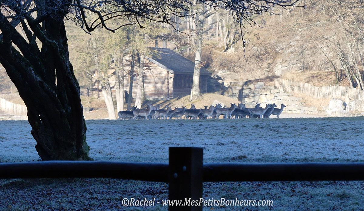 horde-cerfs