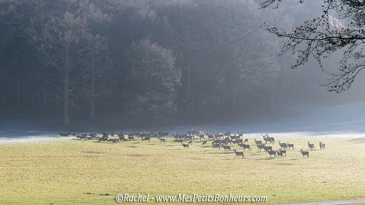 troupeau-de-cerfs