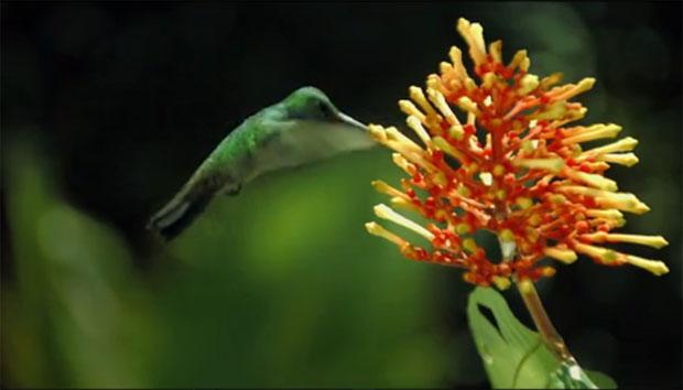 Pollen : le film  Colibri